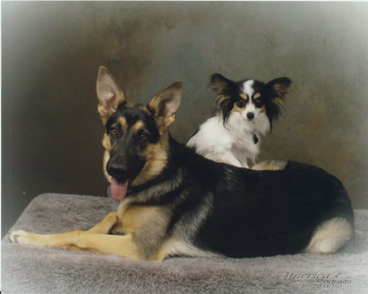 A gsd and papillion
