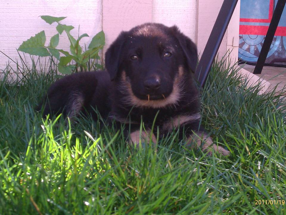 a picture of a german shepherd from Von Ward Kennels named zeus