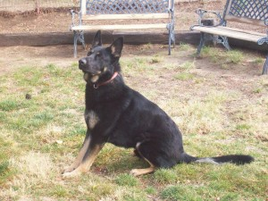 Braven, German Shepherd Stud owned by Von Ward Kennels located in Campo, California