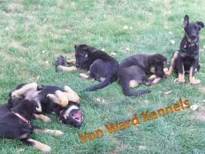 german shepherd puppies with funny ears and silly personalities