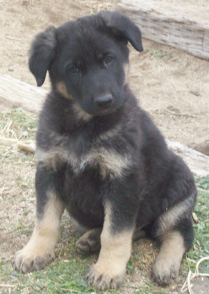 How to Care For Your New German Shepherd Puppy - Von Ward