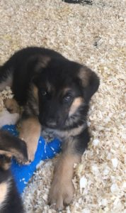 Available male puppy